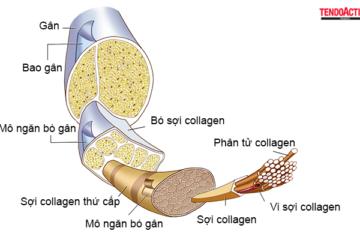 tendini_collagene1