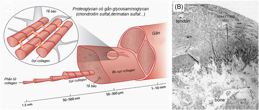 a-hierarchical-structure-of-tendon-spanning-from-the-single-collagen-molecule-up-to