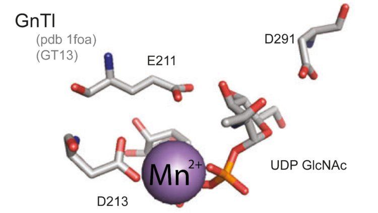 Mangan tham gia vào hoạt động của enzym glucycosyl-transferase